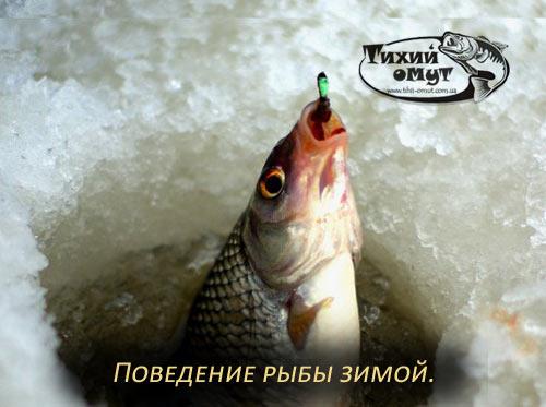 Поведение рыбы зимой.
