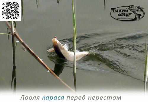 Ловля карася перед нерестом