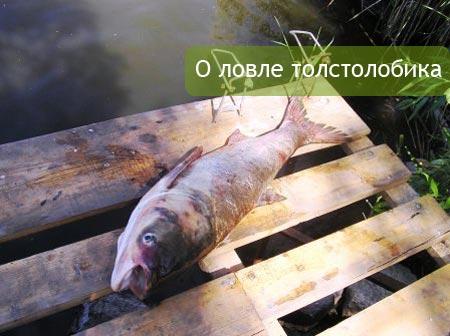 О ловле толстолобика