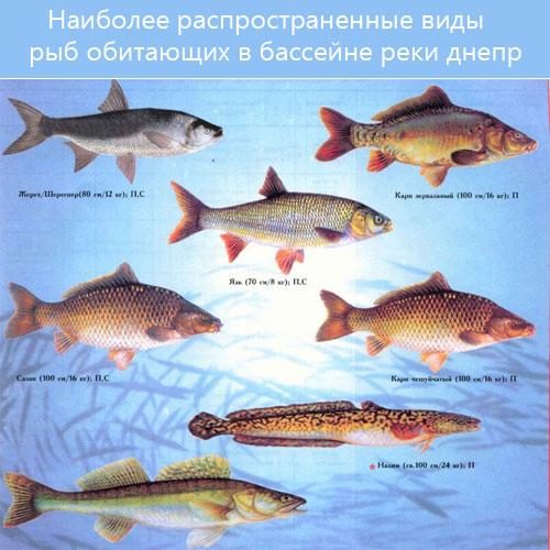 Наиболее распространенные виды рыб обитающих в бассейне реки Днепр