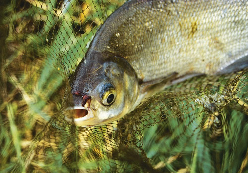 ловится ли рыба при северо западном ветре