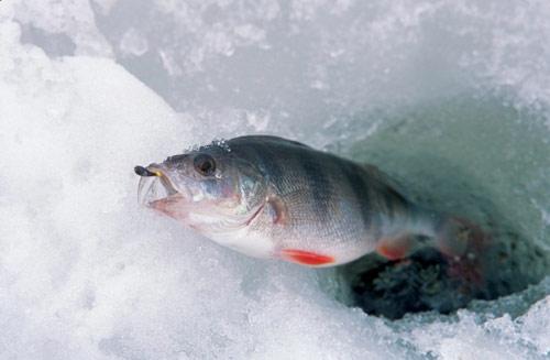 как задержать рыбу получай десне