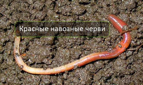 Красные навозные черви