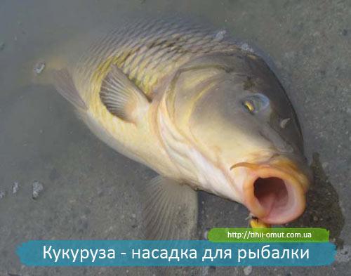 Кукуруза - насадка для рыбалки