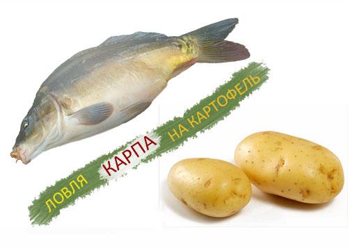 приманка на карпа из картофеля
