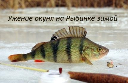 Ужение окуня на Рыбинке зимой
