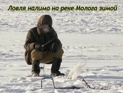 Ловля налима на реке Молога зимой