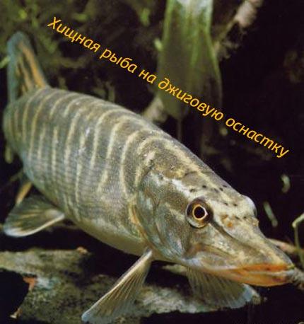Хищная рыба на джиговую оснастку
