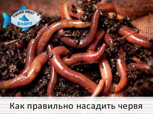 Как правильно насадить червя
