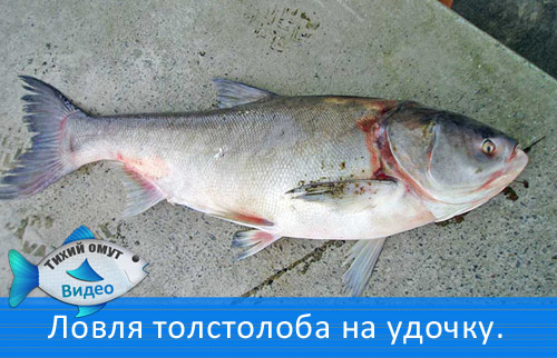ловля толстолобика в ставропольском крае 2017