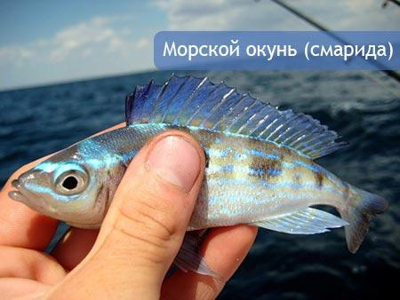 Морской окунь (смарида)