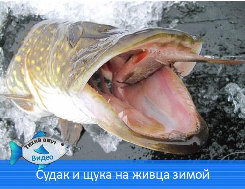 Судак и щука на живца зимой - Зимняя рыбалка на жерлицы.