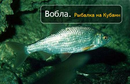Вобла (тарань). Рыбалка на Кубани