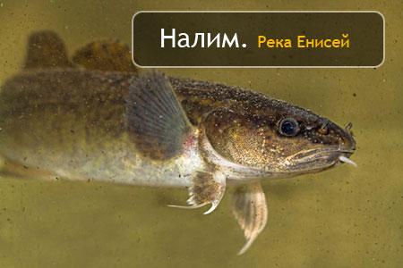 Налим. Река Енисей, Красноярск