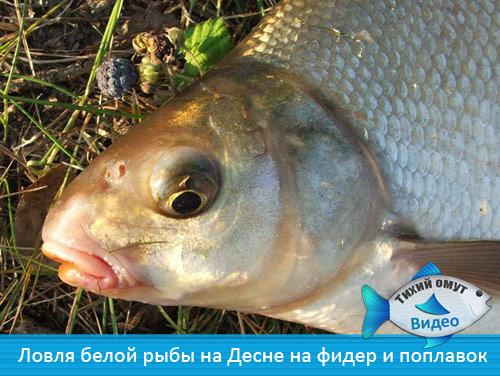 наживка для белой рыбы осенью
