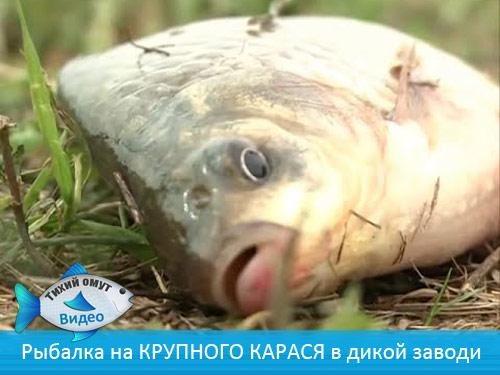 Рыбалка на КРУПНОГО КАРАСЯ в дикой заводи.