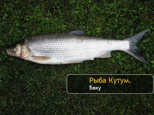 Рыба Кутум. Баку