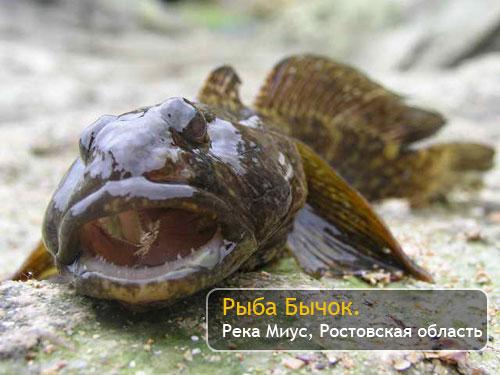 Рыба Бычок. Река Миус, Ростовская область