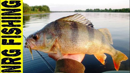 Ловля окуня на реке Днепр. Огромные окуня на лайт джиг.