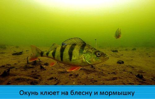 Окунь клюет на блесну и мормышку (подводное видео)