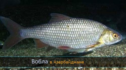 Вобла в Азербайджане