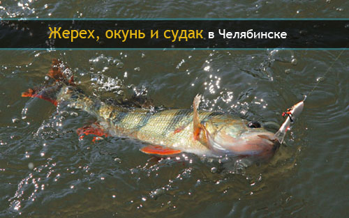 Жерех, окунь и судак в Челябинске