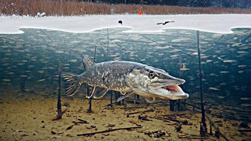 РЫБНОЕ МЕСТО. Зимняя рыбалка на безмотылку и жерлицы.