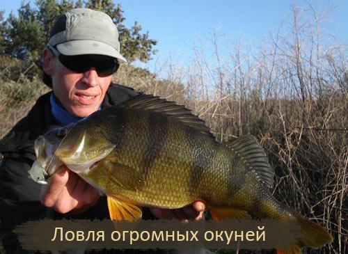 Ловля огромных окуней 2 кг. на спиннинг 2010г.