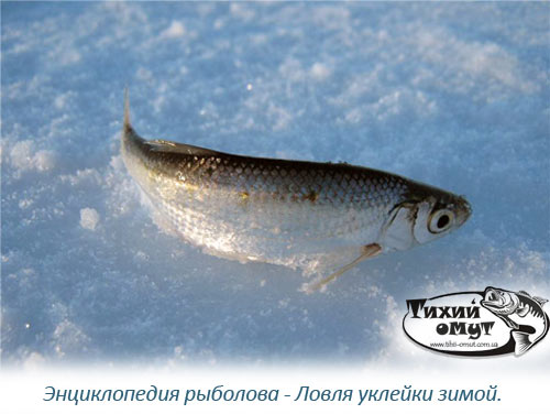 Энциклопедия рыболова - Ловля уклейки зимой