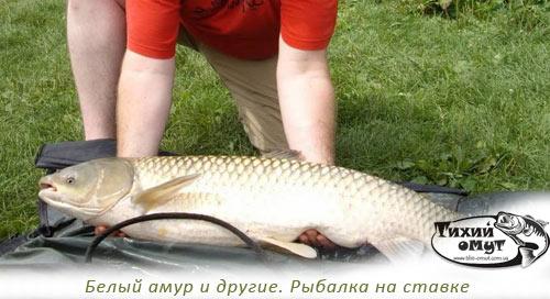 Белый амур и другие. Рыбалка на ставке
