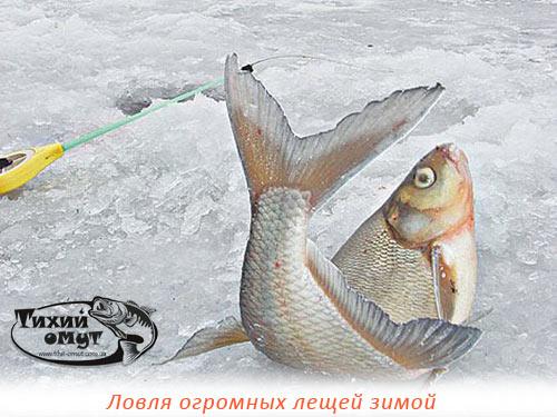 Ловля огромных лещей зимой